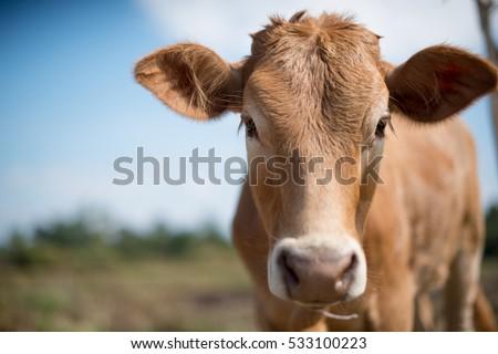 Calf face , selective focus Royalty-Free Stock Photo #533100223