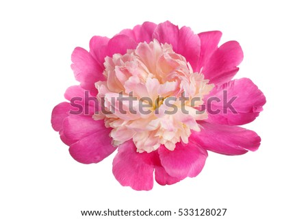 Pink peony flower with the shape anemone flowered isolated on white background. #533128027