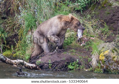 sub adult kodiak bear walking up river bank with large salmon in its mouth #533340064