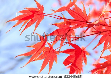 Autumn maple leaves background #533445685