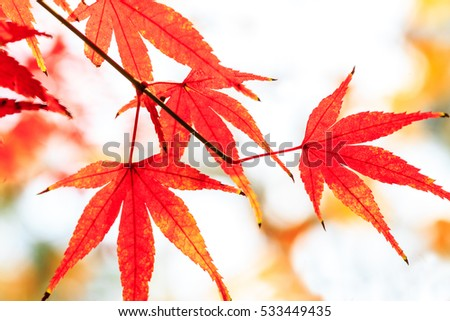 Autumn maple leaves background #533449435