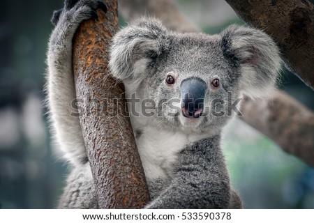 A cute koala. Royalty-Free Stock Photo #533590378
