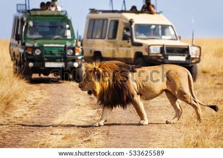 Big lion crossing the road at African savannah #533625589