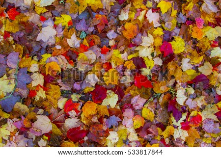 Colorful fall leaves on the ground on a damp rainy day #533817844