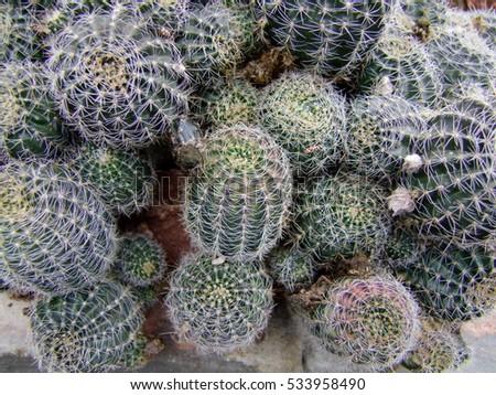 blooming cactus #533958490