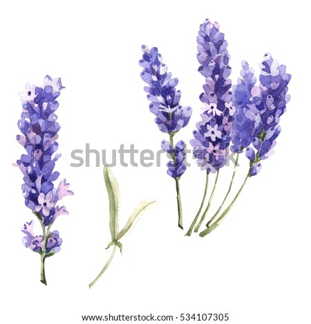 Wildflower lavender flower in a watercolor style isolated. Full name of the plant: lavender. Aquarelle wild flower for background, texture, wrapper pattern, frame or border. #534107305