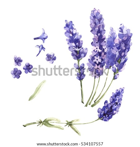 Wildflower lavender flower in a watercolor style isolated. Full name of the plant: lavender. Aquarelle wild flower for background, texture, wrapper pattern, frame or border. #534107557