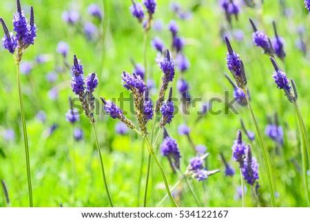Beautiful blue lavender flowers (Fern-leaf lavender ; LAVANDULA MULTIFIDA PLANT) #534122167