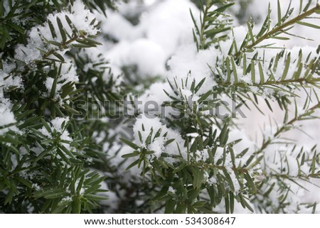 Spruce branches in the snow #534308647