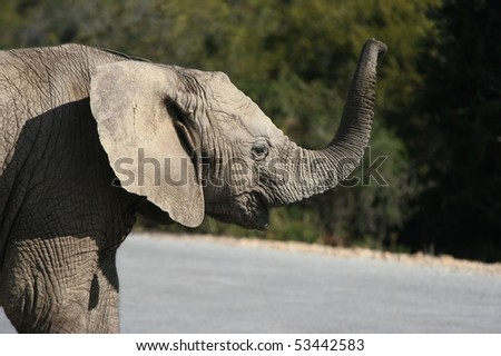 Baby elephant calling for its mother in the wild