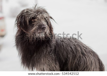 black shaggy dog ??in the snow #534542512