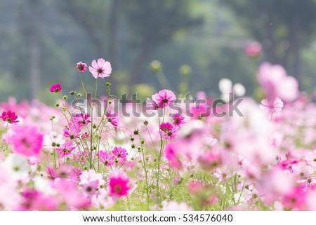 Cosmos Flowers #534576040