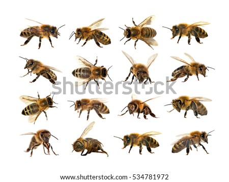 group of bee or honeybee in Latin Apis Mellifera, european or western honey bee isolated on the white background, golden honeybee Royalty-Free Stock Photo #534781972
