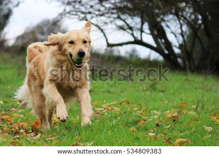 Golden Retriever Running in a Field with a Ball Royalty-Free Stock Photo #534809383