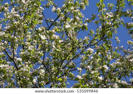 On the background of blue sky crown of a blossoming Apple tree #535099846
