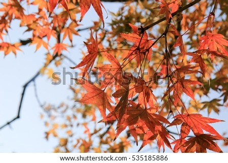 Leave, red, maple, lake, Japan, autumn #535185886