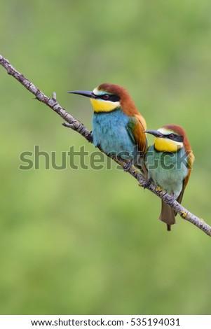 European bee-eater pair, Merops apiaster #535194031