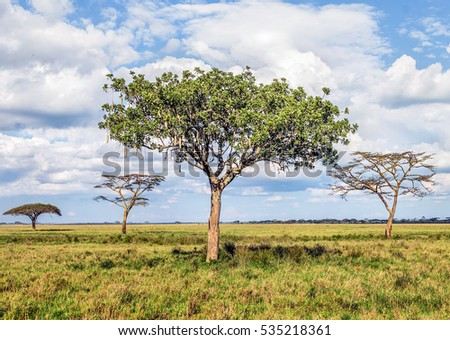 The beautiful trees in Serengeti National Park on a sunny day -Tanzania, East Africa