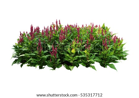 tropical plants flower bush tree pink color isolated white background #535317712