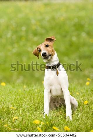 fox terrier #53534482
