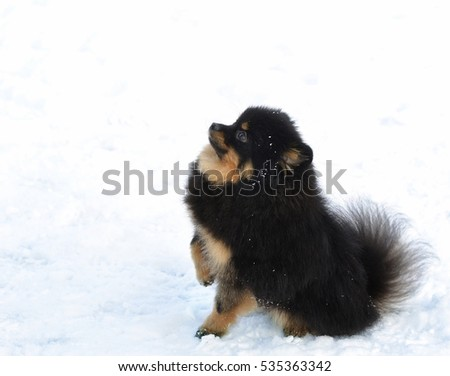Black dog walking in the winter. Black Pomeranian on white snow plays.Black dog in the frost and snow, closeup of photo. #535363342