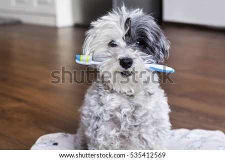 white poodle dog with a toothbrush in the mouth #535412569