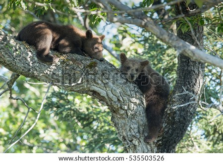 two young grizzly spring cubs sleeping in a tree one looking into camera #535503526