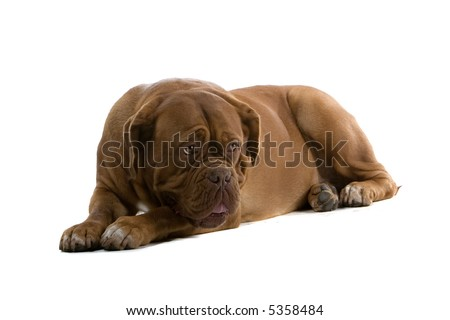 bordeaux dog, french mastiff laying down on the ground isolated on a white background and looking sad #5358484