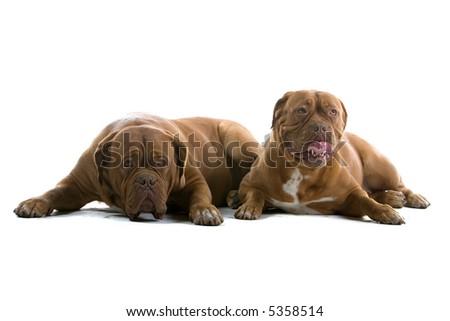 bordeaux dogs, french mastiff #5358514