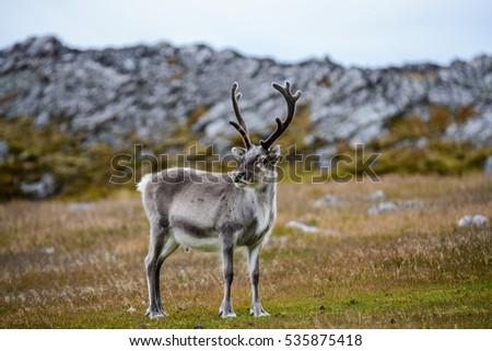 Reindeer Royalty-Free Stock Photo #535875418