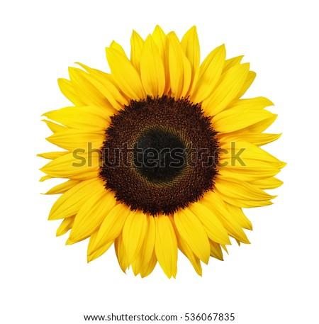 Sunflower isolated on white background #536067835