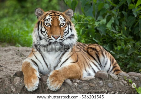 Siberian tiger (Panthera tigris altaica), also known as the Amur tiger. Royalty-Free Stock Photo #536201545