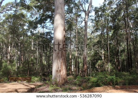A view of the sandy track  winding through the  shady  secluded peaceful  and remote  Boranup National Park karri forest between Augusta and Yallingup, Western  Australia on a sunny summer afternoon. #536287090