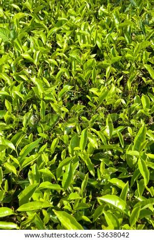 cameron highlands tea plantation area #53638042
