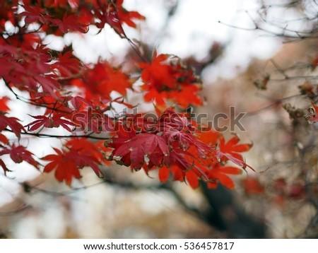 colorful autumn foliage #536457817