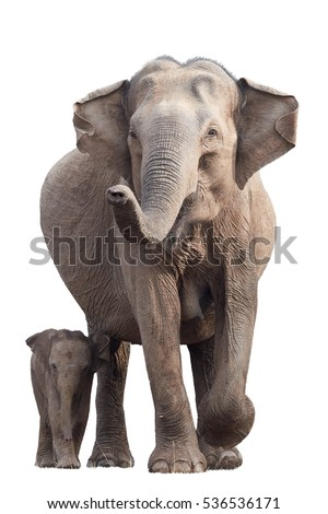 Wild Sri Lankan elephant, Elephas maximus maximus, mother with raised trunk, protecting new-born elephant, isolated on white background. Action wildlife scene. Yala National park, Sri Lanka.  Royalty-Free Stock Photo #536536171