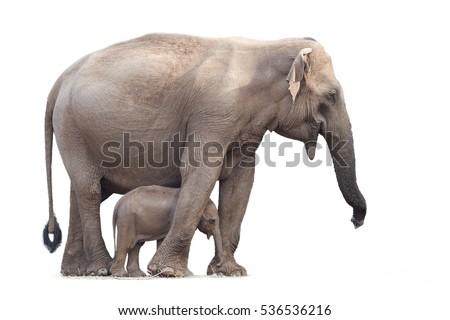 Sri Lankan elephant, Elephas maximus maximus, mother protecting new-born elephant, isolated on white background. Yala National park, Sri Lanka.  Royalty-Free Stock Photo #536536216