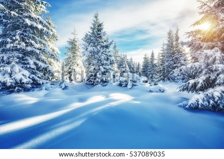 Majestic white spruces glowing by sunlight. Magic and unusual wintry scene. Location place Carpathian national park, Ukraine, Europe. Blue toning, instagram effect. Happy New Year! Beauty world.