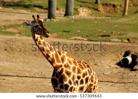 Isolated giraffe looking over their shoulder  #537309643