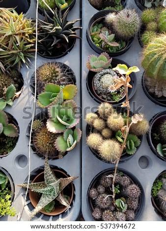 Cactus and succulent in the plastic pot  #537394672