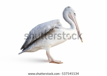 Closeup to isolated pelican on white background, bird Royalty-Free Stock Photo #537545134