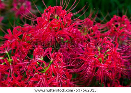 Red spider lily  #537562315