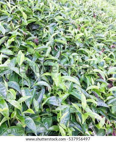 Tea leaves growing on bushes in tea farm #537956497
