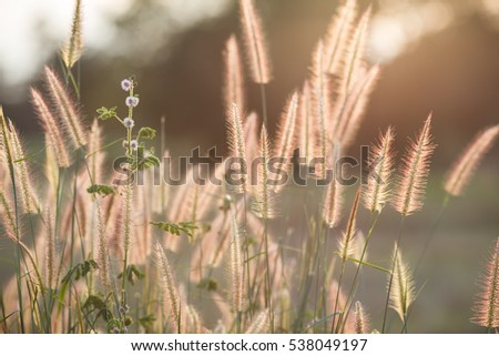 Reed bending sunset of tropical grass flower on light sunset background. Bent concept