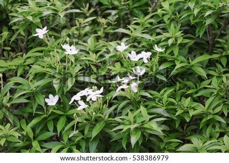 White Orange jasmine flower in the garden #538386979