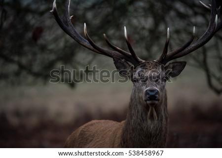 Red deer #538458967