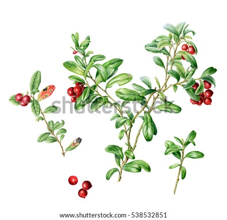 Hand drawn watercolor set of autumn Cowberry. Can be used as a greeting card for background, birthday, mother's day and so on. Romantic background for web pages, wedding invitations, wallpaper. #538532851