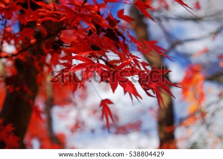 Red maple leaves in Autumn with blue sky. #538804429
