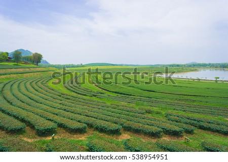 Green Tea farm #538954951