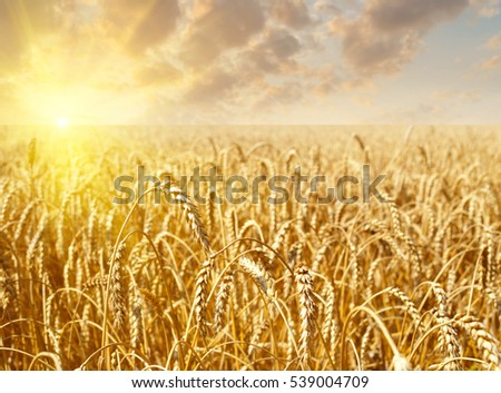 Golden wheat field with sky with clouds and sun on sunset in background #539004709
